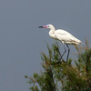 """<div align=""""left"""">If it weren't for it's startling beak, it would be easy to mistake this bird for a Great Egret. It is in fact—a Reddish Egret (White Morph). Look at a larger version of this photo to see the vibrant colors in the beak (just like the dark version of the Reddish Egret). <em>Photo credit: Diane D. Nunley</em></div>"""