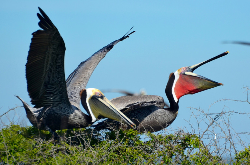 """<div align=""""left"""">Do we have red-pouch and brown pouch Pelican love going in here? <em>Photo credit: Peggy Wilkinson</em> </div>"""