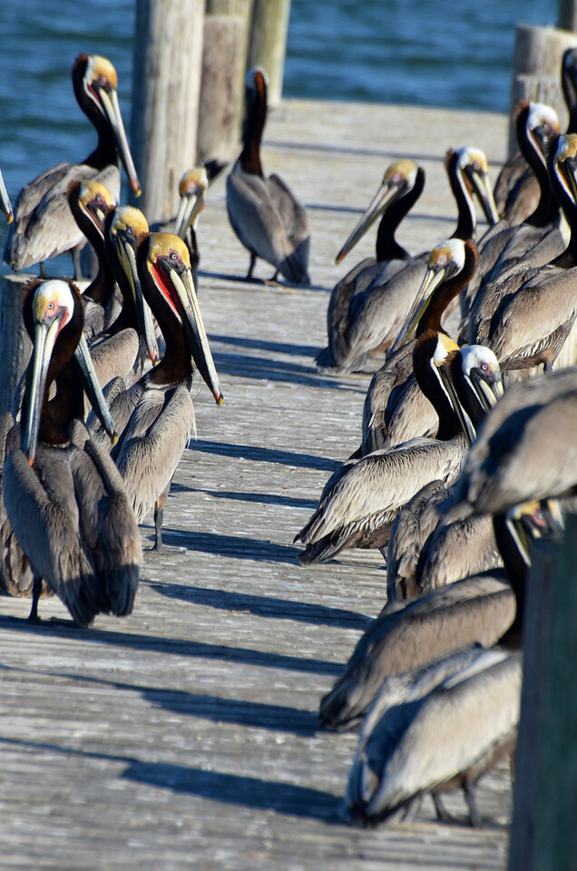 """<div align=""""left"""">The pelicans love this dock more than the humans do—it can get a bit slimy! <em>Photo credit: Peggy Wilkinson</em> </div>"""