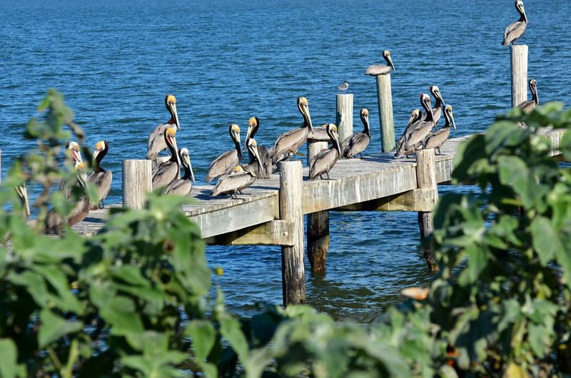 """<div align=""""left"""">View of the dock with Brown Pelicans looking through the Silver-Leaf Sunflowers. <em>Photo credit: Peggy Wilkinson</em> </div>"""