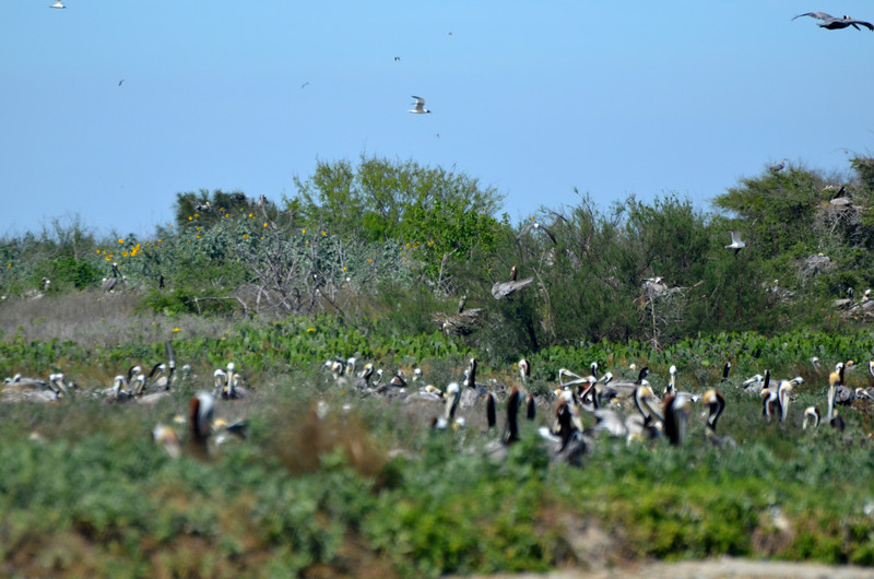 """<div align=""""left"""">This is a favorite part of the island for nesting Brown Pelicans. It is kind of in the middle and has the benefit of lots of other nests (and adult Pelicans) around to defend the chicks. <em>Photo credit: Peggy Wilkinson</em> </div>"""