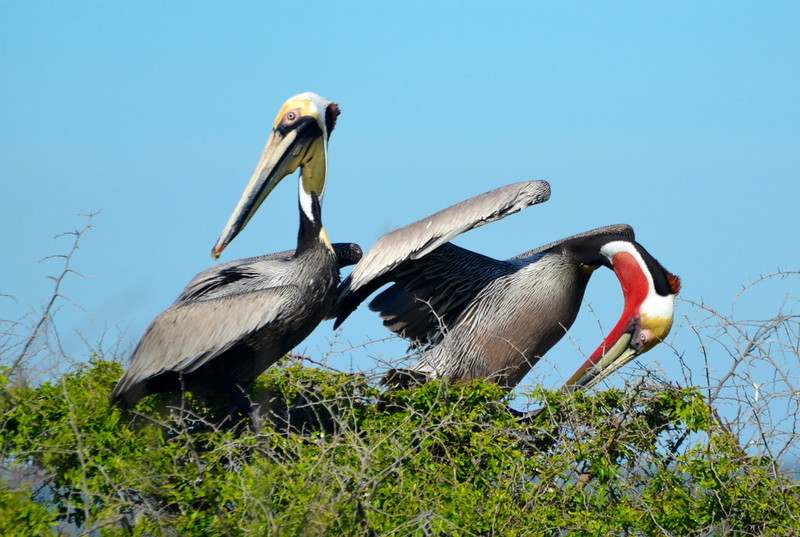 """<div align=""""left"""">Do we have red-pouch and brown pouch Pelican love going in here? See the next two photos as well! <em>Photo credit: Peggy Wilkinson</em> </div>"""