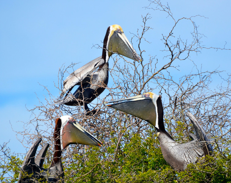 """<div align=""""left"""">Notice the difference between these Brown Pelicans—the pelican on the left has a reddish pouch and the others have a mostly brown pouch. The red-pouched pelicans showed up on Chester Island about six or seven years ago. Most online information identifies them as two sub-species of Brown Pelicans. <em>Photo credit: Peggy Wilkinson</em> </div>"""