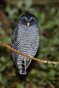 Black-banded Owl (aka Mystery Owl of San Isidro, Ecuador)