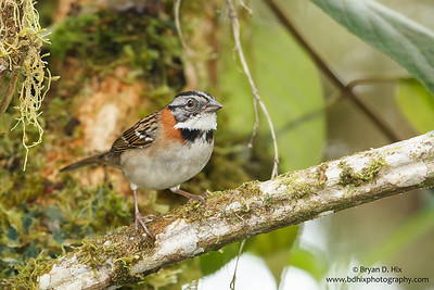 Chesnut-collared Sparrow
