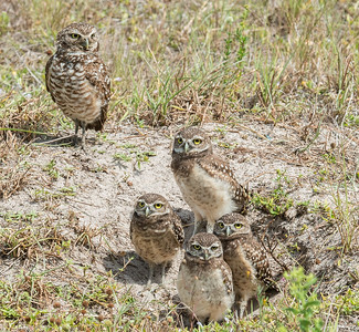 Burrrowing Owl Family