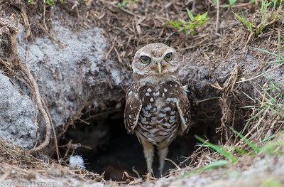 Burrownng Owl Guarding Burrow