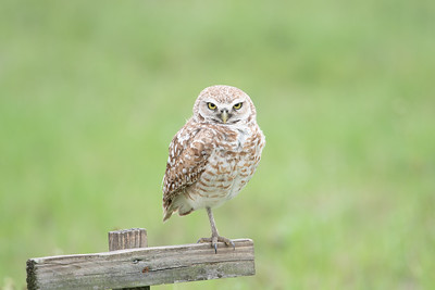 Burrowing Owl on Perch