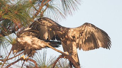 Bald Eagle Juveniles