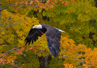 Bald Eagle in the Maine Fall Foilage