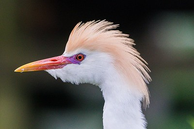 Cattle Egret Head Shot