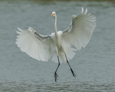 Great Egret Flaring for Landing