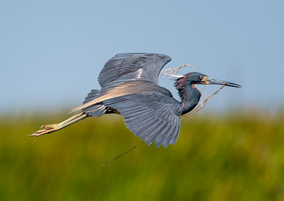 Tri-Colored Heron with Nesting Material