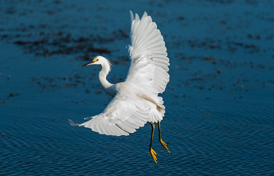 Snowy Egret with Fuill Wing Spread
