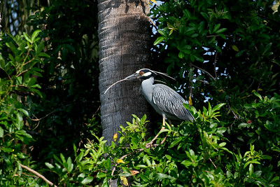 Yellow Crown Nght Heron