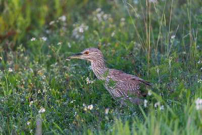 Juvenile Night Heron in the Flowers