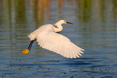 Snowy Egret in the Early Morning Light