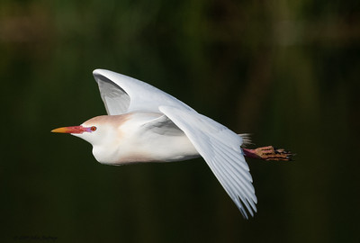 Cattle Egret with Breeding Colors
