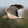 Closeup of Male Northern Harrier