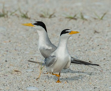 Courting Least Terns