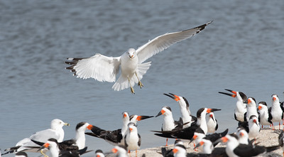Ring Billed Gull Landing in Skimmer Colony