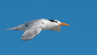 Royal Tern in Fl;ight