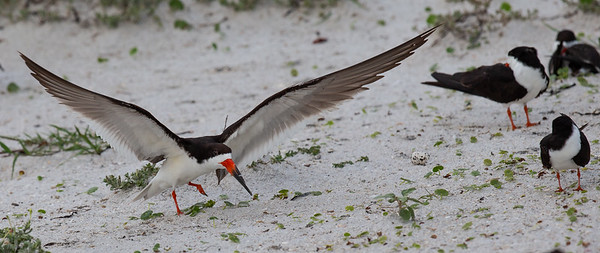 Black Skimmer Mother Protecting