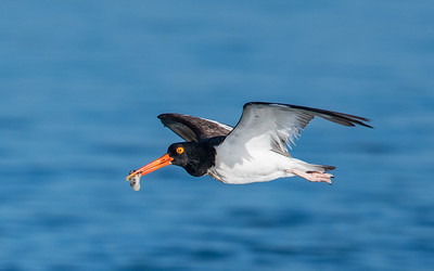 American Oystercatcher with Oyster Breakfast