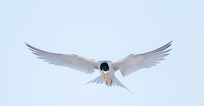 Hovering Least Tern