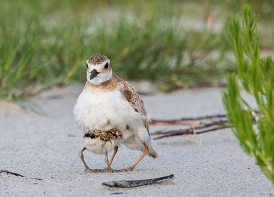 Wilson's Plover and Chick