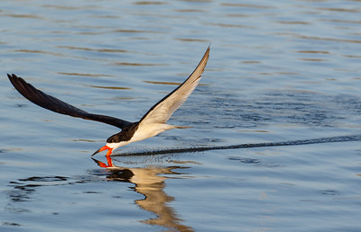Black Skimmer leaving a trail