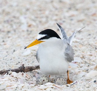 Least Tern Momma