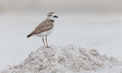 Wilson's Plover Standing Tall