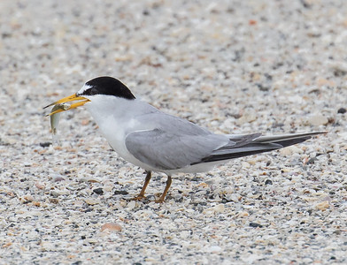 Least Tern with Lunch