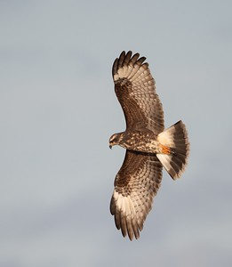 Female Snail Kite Banking Right