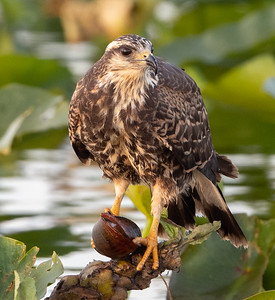 Female Snail Kite Eating a Snail