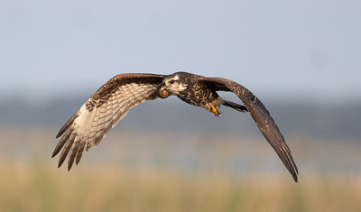Snail Kite with a Nose