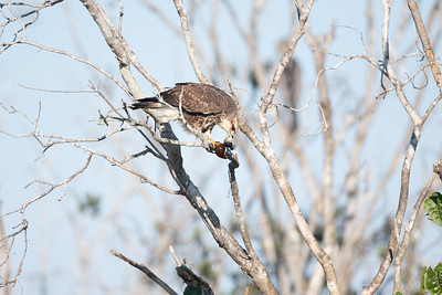 Snail Kite With Breakfast
