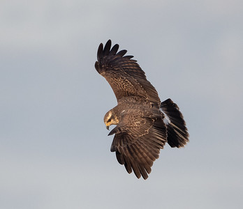Snail Kite Banking Left