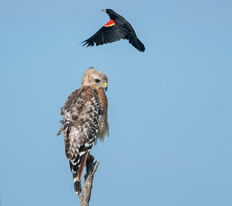 Young Red Shouldered Hawk and Red Winged Blackbird