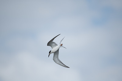 Forster's Tern Diving for Fish