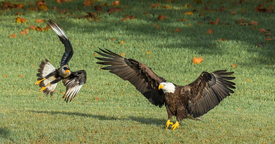 Bald Eagle and Crested Caracara
