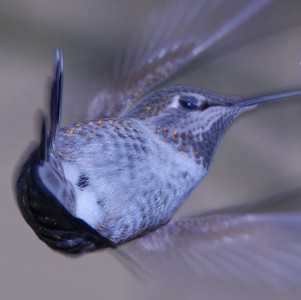 Anna's Hummingbird, Adult female