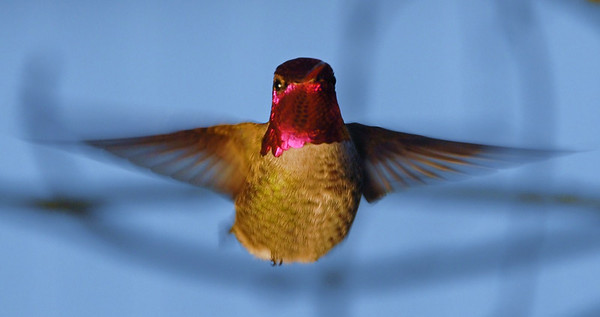 Anna's Hummingbird, Adult male