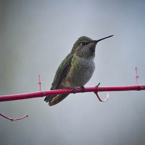 Anna's Hummingbird. Female