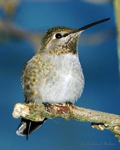 Anna's Hummingbird, Juvenile