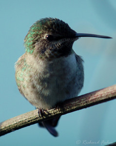 Anna's Hummingbird, Adult-Female