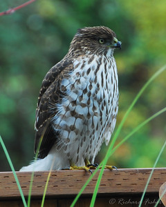 Cooper's Hawk Resting after eating a House Sparrow. Notice the feather stuck to the beak