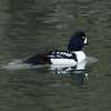 Barrow's Goldeneye - Male
