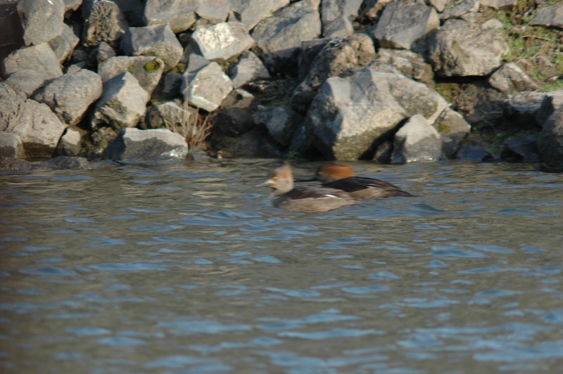 A pair of Hooded Mergansers off my deck. better shots to come when they return.